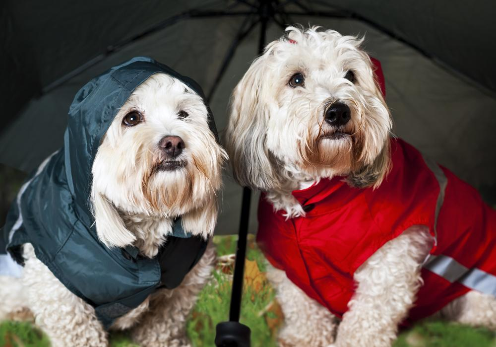 Two dogs wearing raincoats escaping the rain.