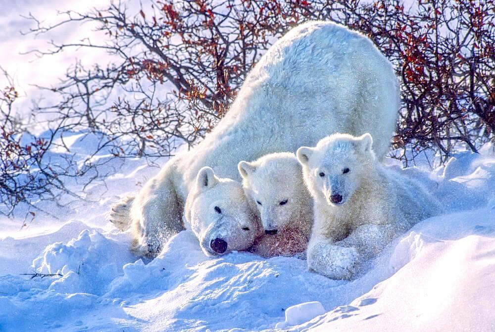 Polar bear with its cubs in snowy Churchill