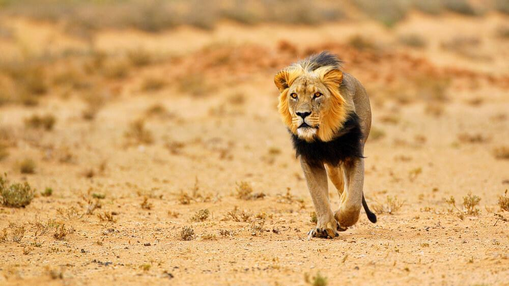 Lone lion prowling the bare fields of South Africa