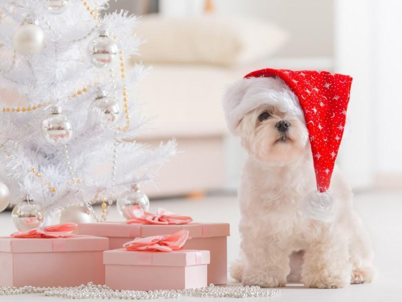 Cute pet next to Christmas gifts.