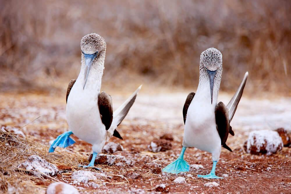blue-footed booby at the Galapagos Islands